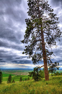 Photograph - Large Pine On Kamiak by David Patterson