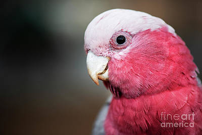 Photograph - Large Pink And Grey Galah. by Rob D