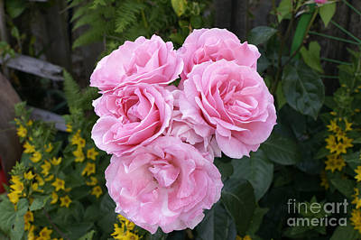 Photograph - Large Pink Roses by John  Mitchell
