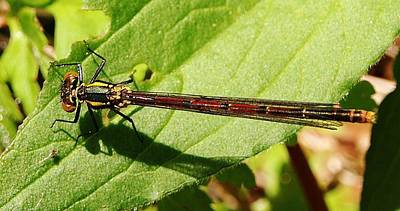 Photograph - Large Red Damselfly by Richard Brookes