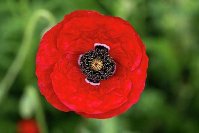 Photograph - Large Red Poppy by Lynn Hopwood