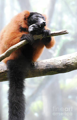 Red-ruffed Lemur Photograph - Large Red Ruffed Lemur Sitting On A Branch by DejaVu Designs