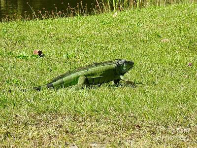 Photograph - Large Sanibel Iguana by Frank Williams