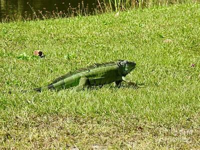Photograph - Large Sanibel Iguana by Frank Williams