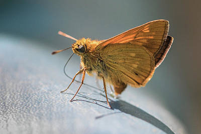 Photograph - Large Skipper - Ochlodes Sylvanus by Jivko Nakev