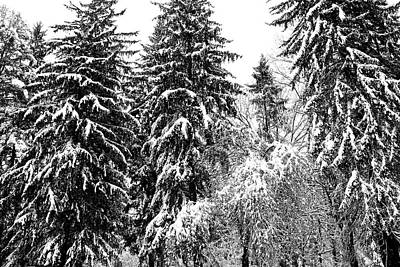 Photograph - Large Snow Laden Evergreens by Polly Castor