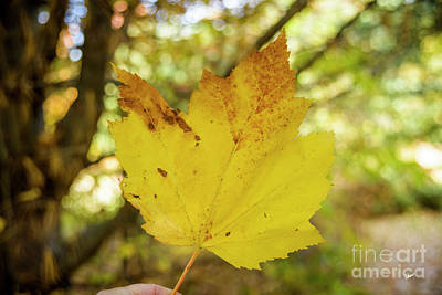 Photograph - Large Sugar Maple Leaf by Alana Ranney