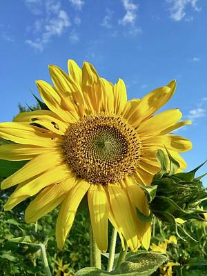Photograph - Large Sunflower by Brian Eberly