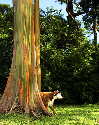 Photograph - Cow Roaming Among Eucalyptus by Marilyn Hunt