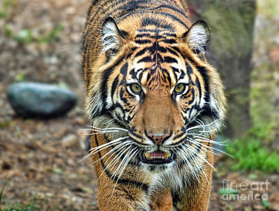 Face Photograph - Large Tiger Approaching by Jim Fitzpatrick