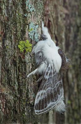 Photograph - Large Tolype Moth by Jim Zablotny