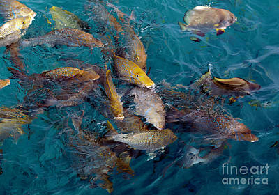 Photograph - Large Tropical Fish Feeding Near The Surface, Near Michaelmas Cay, The Great Barrier Reef, Queenslan by John Gaffen