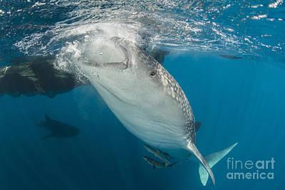 Large Whale Shark Siphoning Water Art Print by Mathieu Meur