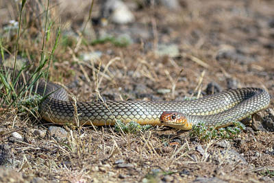 Photograph - Large Whipsnake - Dolichophis Caspius by Jivko Nakev
