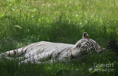 Photograph - Large White Bengal Tiger Laying In The Grass by DejaVu Designs