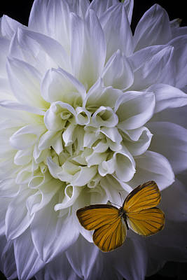 Large White Dahlia With Butterfly Art Print