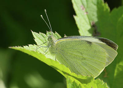 Linge Photograph - Large White  Pieris Brassicae Taken In Felde Schleswig Holstein Germany by Andreas Eichler