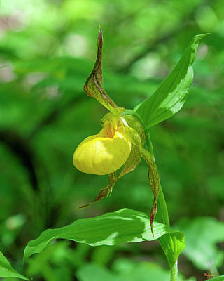 Photograph - Large Yellow Lady's Slipper Orchid Dspf0414 by Gerry Gantt