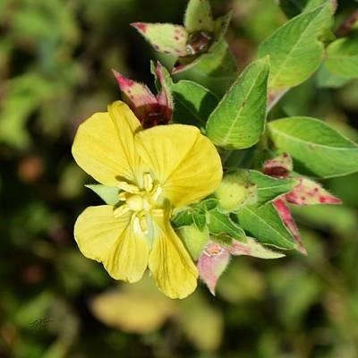 Photograph - Largeflower Primrose Willow - Ludwigia Grandiflora by rd Erickson