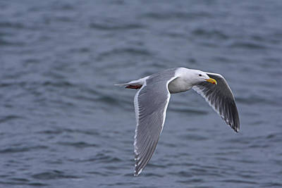 Photograph -  Laridae by Chris LeBoutillier