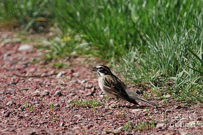 Photograph - Lark Sparrow by Alyce Taylor