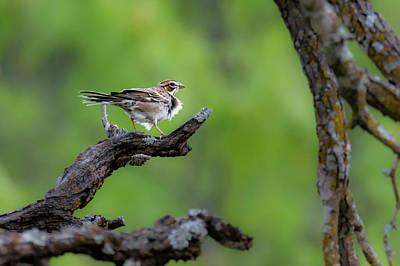 Photograph - Lark Sparrow by Debra Martz
