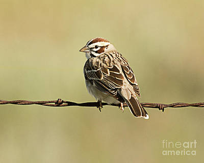 Music Figurative Potraits - Lark Sparrow  by Dennis Hammer