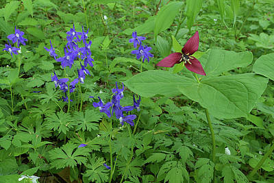 Photograph - Larkspur And Red Trillium by Alan Lenk