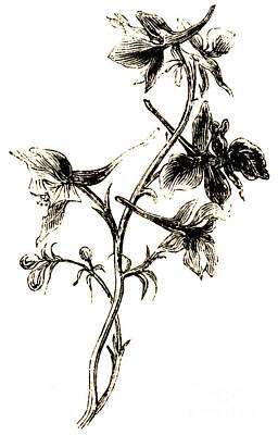 Botanical Drawing - Larkspur  by English School