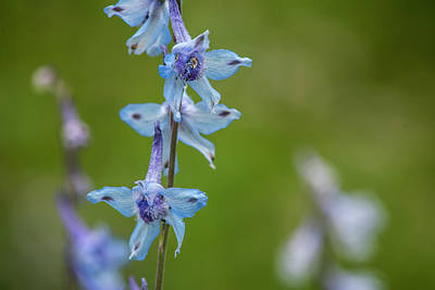 Photograph - Larkspur On The Roadside by Robert Potts