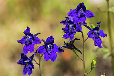 Photograph - Larkspur In The Meadow by Robert Potts