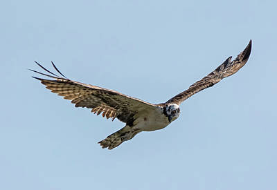 Osprey Photograph - Laser Focus by Loree Johnson