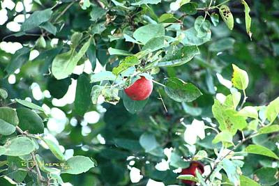 Photograph - Last Apple by R B Harper