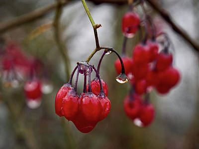 Photograph - Last Berries Of The Fall by Jouko Lehto