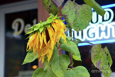 Caravaggio - Last Call Sunflower by Catherine Sherman