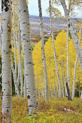 Photograph - Last Dollar Road Aspen Grove Gold by Ray Mathis