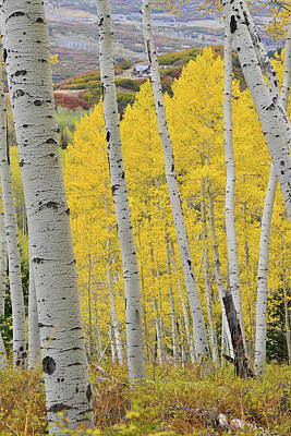 Photograph - Last Dollar Road Aspens In Full Color by Ray Mathis