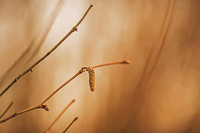 Photograph - Last Golden Catkin by Vincent Pelletier