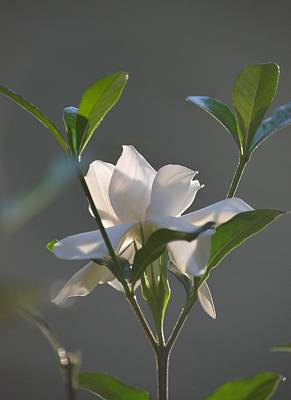 Photograph - Last Light - Gardenia by Maria Urso