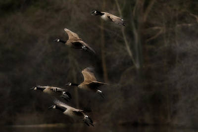 Nikki Vig Royalty-Free and Rights-Managed Images - Last Light - Geese in Flight by Nikki Vig