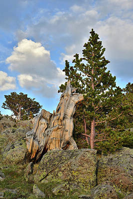 Photograph - Last Light On Bristlecones On Mt. Evans by Ray Mathis