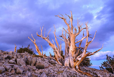 Last Light On The Bristlecones Art Print