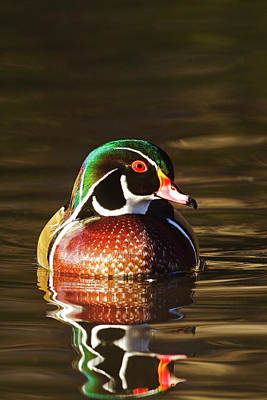 Photograph - Last Light Wood Duck by Mark Miller