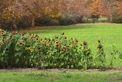 Farm Stand Photograph - Last Of The Sunflowers by Art Block Collections