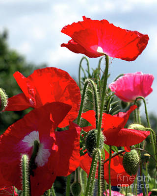 Art Print featuring the photograph Last Poppies Of Summer by Baggieoldboy