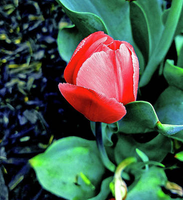 Photograph - Last Red Tulip by Maggie Vlazny