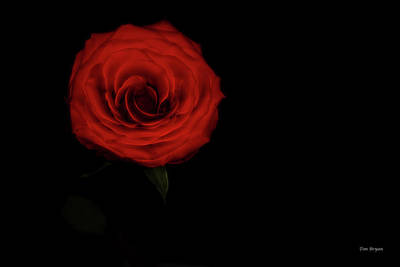 Photograph - Last Rose by Tim Bryan