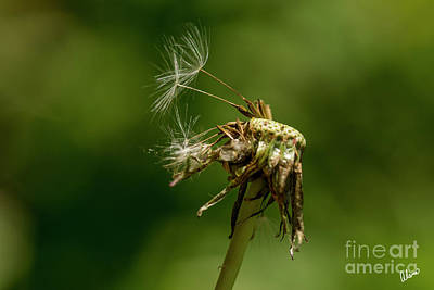 Photograph - Last Seeds Of A Dandelion by Alana Ranney