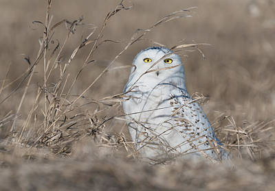 Photograph - Last Year Of The Snowy Owls... by Ian Sempowski