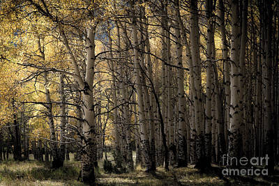 Photograph - Late Afternoon Aspens - Last Dollar Road by The Forests Edge Photography - Diane Sandoval